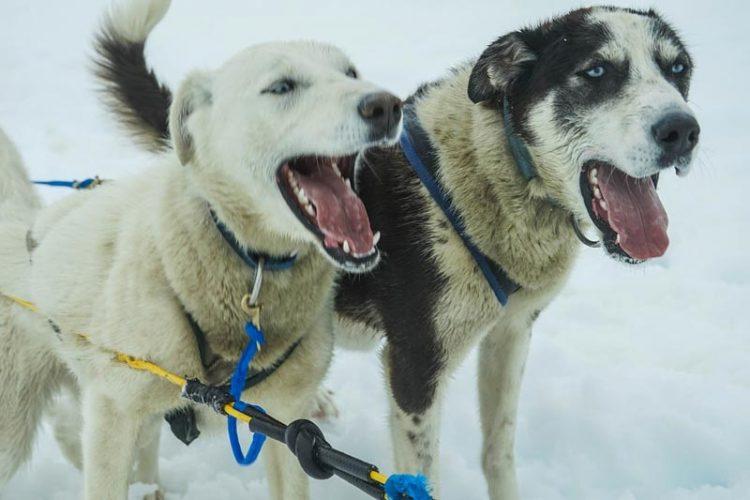 Dog Sledding, Alaska