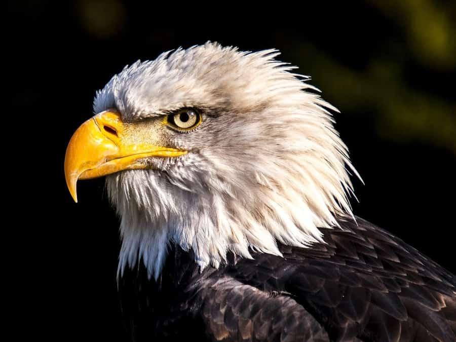 Eagle at Alaska Raptor Center