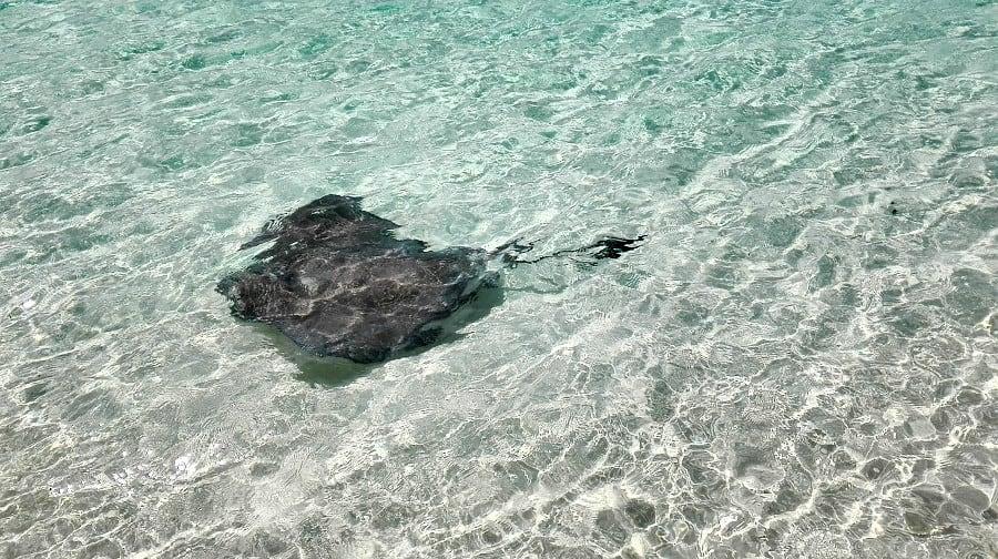 Stingray at Beach