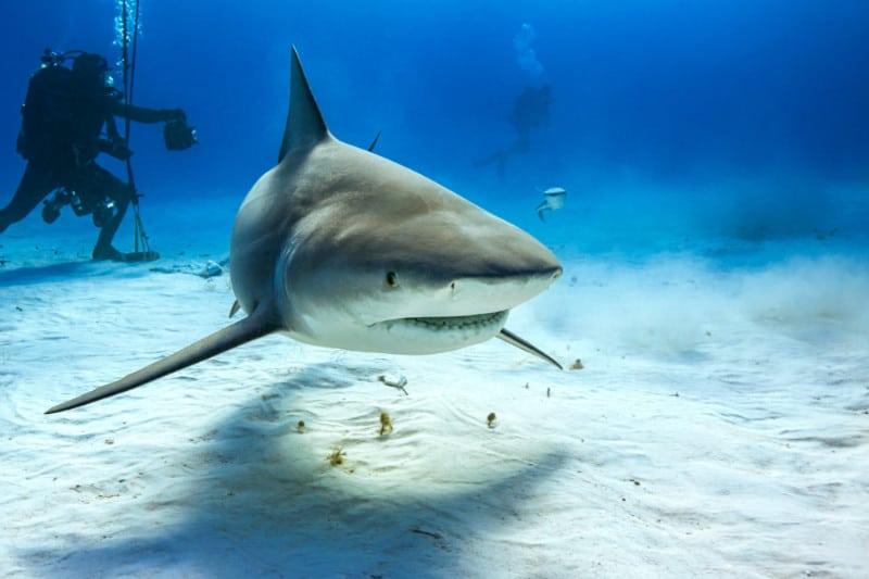Bull Shark at Bimini Island