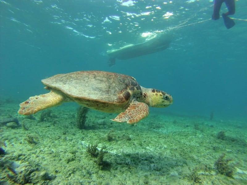 Green Sea Turtle in Bimini