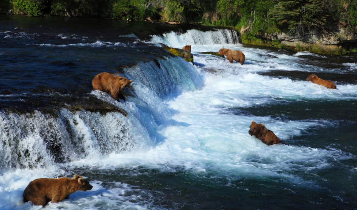 Bears Looking for Salmon at Katmai National Park