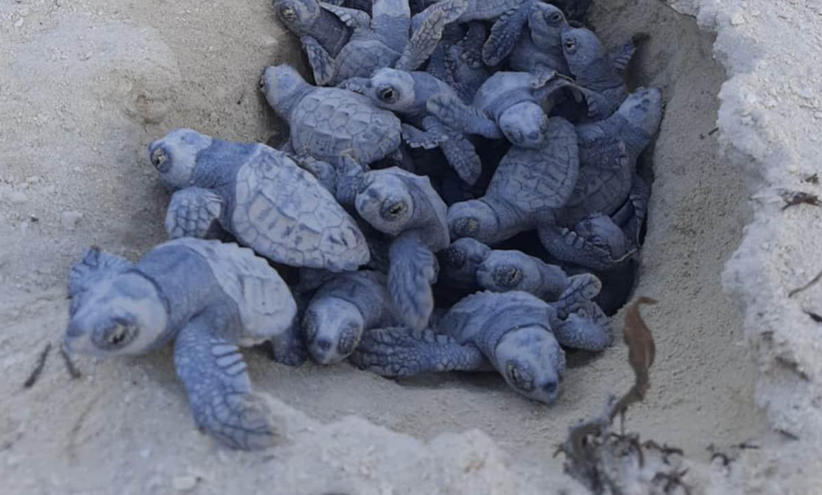 Ocean Cay Turtle Hatchings